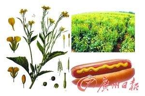 芥末(Mustard)宜家热狗上的黄色酱汁,由芥菜的种子碾磨成的粉状调料,呈黄色。