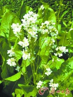 """辣根(Horseradish)目前国内市售的""""青芥辣""""大多是由辣根粉制作的,呈淡黄色。"""