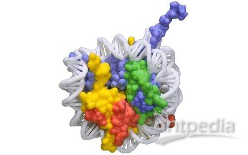 更大的染色体结构域和细胞核隔室