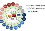 Nature:T细胞功能调控的关键转录因子
